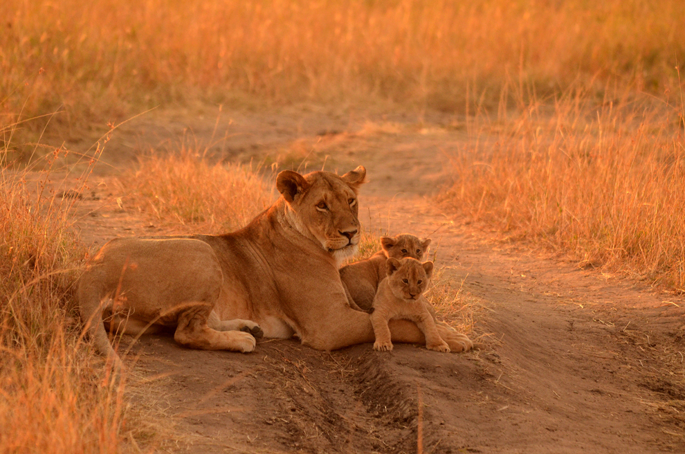 O leoaică împreună cu cei doi pui de o săptămână se odihneşte în rezervaţia Masai Mara, Kenya, luni, 15 iulie 2013.
