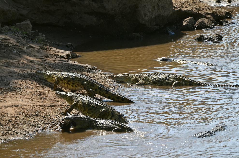 Grup de crocodili, în râul Mara din rezervaţia Masai Mara, Kenya, marţi, 16 iulie 2013.