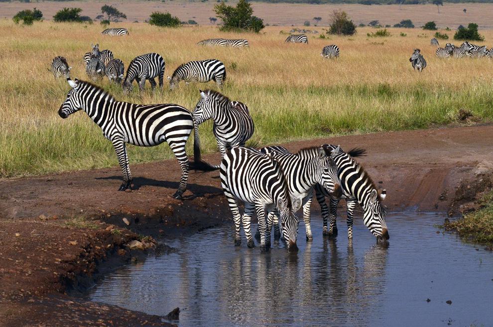 Zebre, în rezervaţia Masai Mara, Kenya, marţi, 16 iulie 2013.