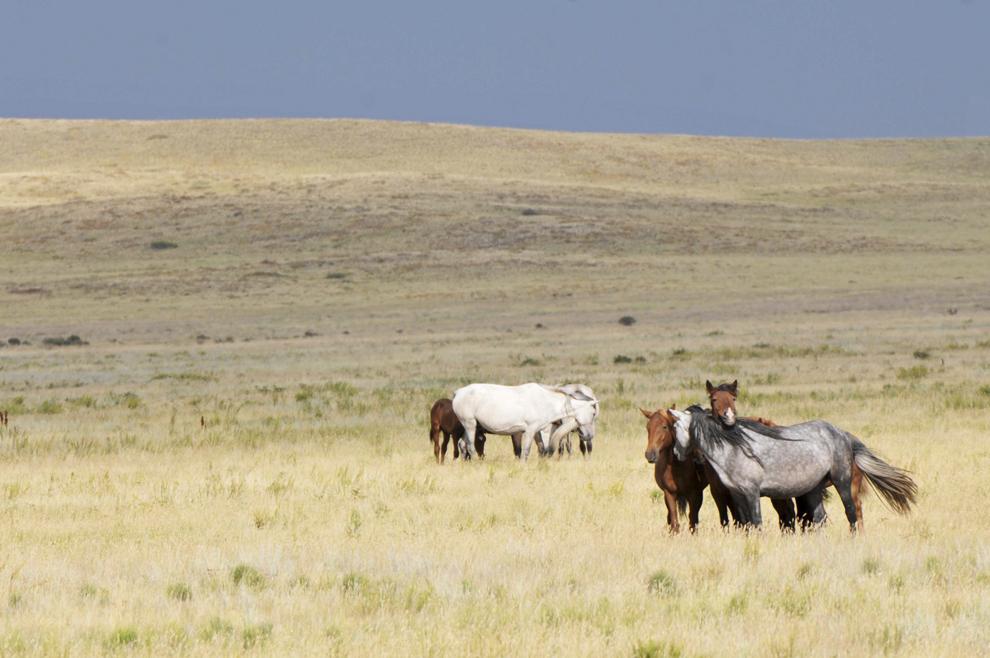 Cai sălbatici în stepa kazahă, pe drumul dintre Kharaghanda şi Balqash, în Kazahstan, august 2013.
