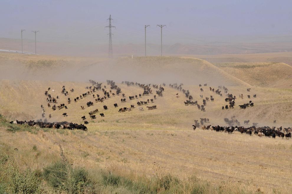 Turme de vaci în timpul procesului de transhumanţă, pe marginea drumului dintre Jixxah si Samarkand, în Uzbekistan, septembrie 2013.