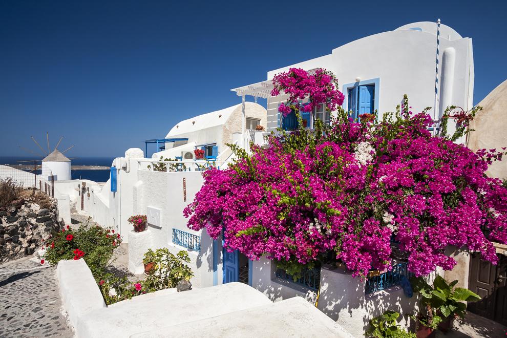Clădiri tradiţionale de pe insula Santorini, cu un arbust de leandru înflorit.