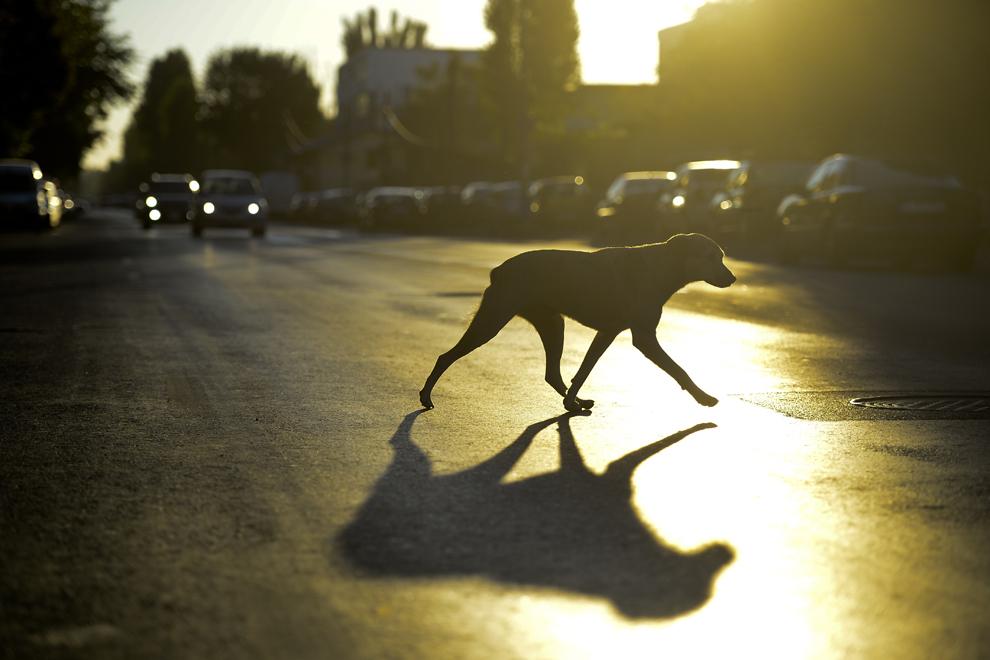 Un câine traversează stradă, în zona Pantelimon-Vergului, în Bucureşti, joi, 5 septembrie 2013.