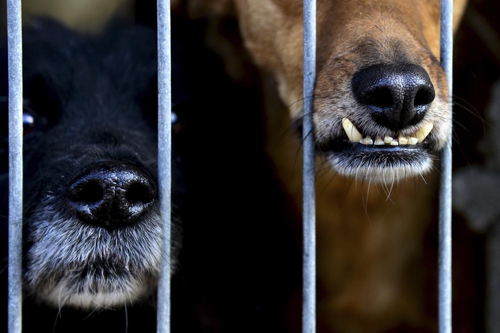 """Doi câini stau într-o cuşcă, la adăpostul """"Speranţa"""" din Popeşti Leordeni, sâmbătă, 26 octombrie 2013."""