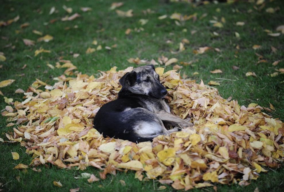Un câine comunitar se odihneşte pe un morman de frunze de toamnă, într-un parc din Bucureşti, luni, 18 octombrie 2010.