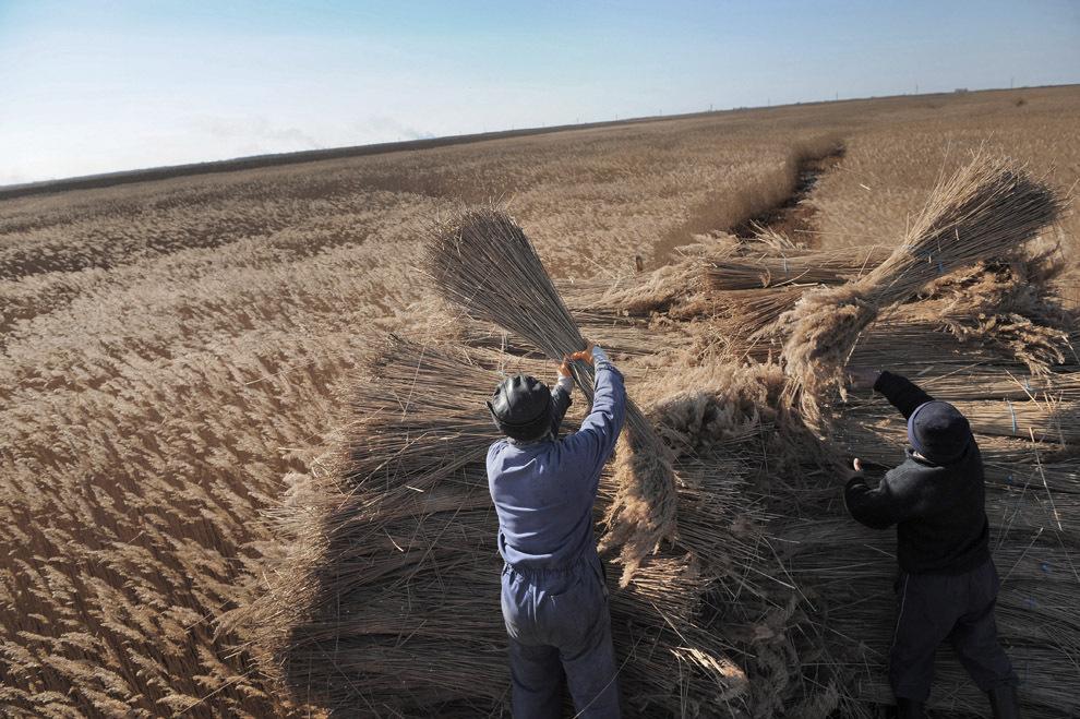 Muncitori urcă mormane de stuf într-o secerătoare mecanică, în Delta Dunarii, miercuri, 9 februarie 2011.