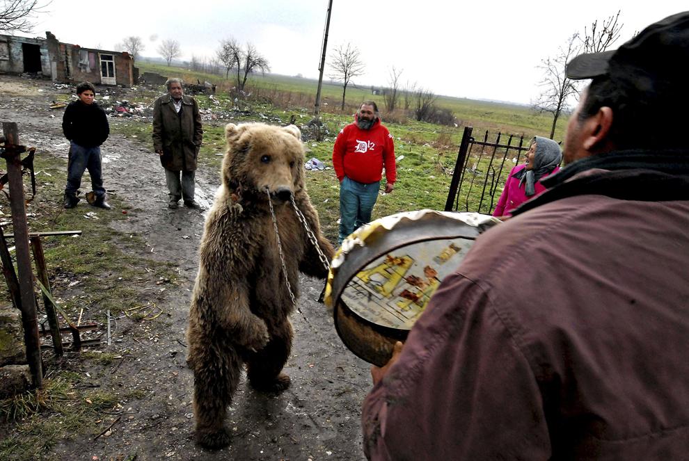 Milena, o ursoaică oarbă în vârstă de 30 de ani, este fotografiată cu lanţ şi belciug împreună cu familia Lazarevici, stăpânii săi, în Pozarevac, o localitate aflată la 50 km de Belgrad, Serbia, luni, 26 ianuarie 2009. Fundaţia pentru protecţia animalelor, Vier Pfoten, a transferat ultimii trei urşi dansatori din Serbia în Bulgaria, la Dancing Bears Park din Belitsa.