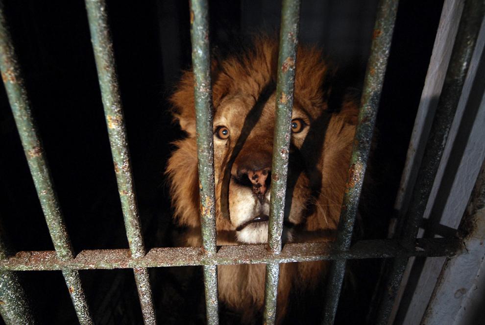 Octavian, un leu care urmează să fie transferat în Africa de Sud, stă în cuşca sa de la Grădina Zoologică din Tecuci, miercuri, 11 martie 2009. Fundaţia pentru protecţia animalelor Vier Pfoten a tranferat trei lei de la Grădina Zoologică din Tecuci în Lionsrock Big Cat Santuary din Africa de Sud.