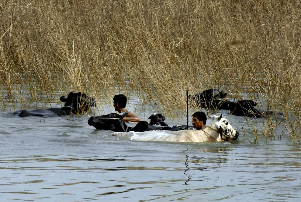Doi localnici traversează cu vitele apa care a inundat satul Kot Sultan, din districtul Layyah, vineri, 27 august 2010. Ploile torenţiale musonice au declanşat inundaţii, considerate a fi cel mai mare dezastru natural care a lovit vreodată Pakistanul, afectând peste 17 milioane de oameni.