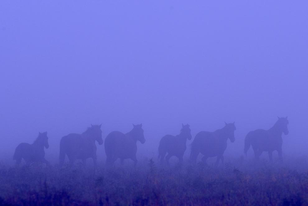 Cai sălbatici în Pădurea Letea din Delta Dunării, sâmbătă, 24 octombrie 2009. Fundaţia pentru Protecţia Animalelor Vier Pfoten a pornit în anul 2009 un proiect de salvare a aproximativ 3000 de cai sălbatici din pădurea Letea, singura populaţie de cai sălbatici din Europa. În anii anteriori, caii din pădurea Letea au fost prinşi şi omorăţi în abatoare de către firme de comercializare a cărnii, cu acordul autorităţilor locale.