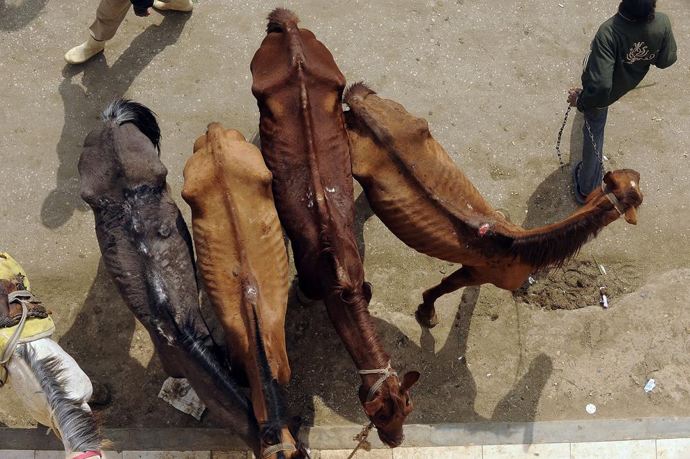 Un localnic aşteaptă ca medicii echipei Vier Pfoten să îi tateze caii, sâmbătă, 26 februarie 2011. După demisia preşedintelui Mubarak, Egiptul se confruntă cu cea mai cruntă lipsă de turişti din istorie. Dacă în lunile ianuarie-februarie 2010 numărul vizitatorilor depăşea un milion, anul acesta cifrele se ridică la câteva sute pe zi. Numai în zona piramidelor, aproximativ 8000 de oameni trăiesc din turism folosind cai şi cămile. Statistici neoficiale arată că, în numai două săptămâni, aprox. 350 de animale au murit din lipsă de hrană sau bolnave, pentru că stăpânii lor nu au mai avut bani să le îngrijească.
