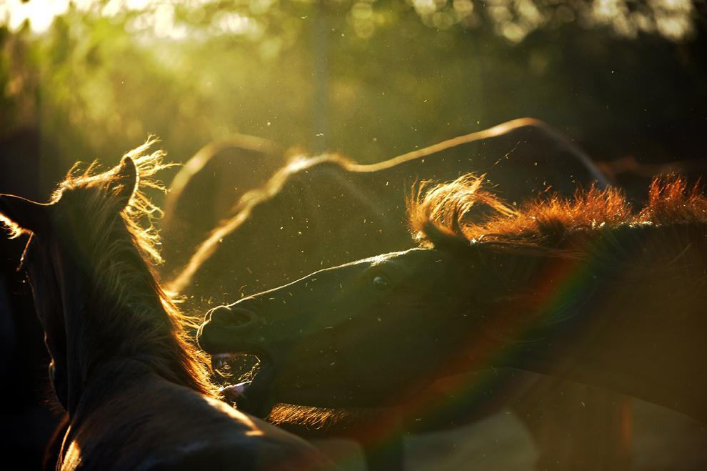Un armăsar se impune într-un grup de cai la o fermă din satul Urleasca, sâmbătă, 27 august 2011. 54 de cai sălbatici din pădurea Letea, Delta Dunării, au fost salvaţi în luna mai 2011 de către membrii Fundaţiei Vier Pfoten cu ajutorul poliţiei din localitatea Ianca, judeţul Brăila, în timp ce erau transportaţi ilegal către un abator pentru a fi sacrificaţi. După trei luni de carantină, îngijire şi tratament medical, primit de la Vier Pfoten şi voluntari în ferma din Urleasca, 22 din cei 41 de cai rămaşi în viaţă au fost readuşi duminică, 28 august, în Grindul Letea.