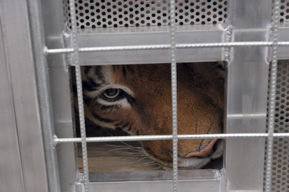 Radja, o femela tigru în vârstă de nouă ani, stă în cuşca de transport, în Weilburg (90 km de Frankfurt), 4 noiembrie 2013. Fundaţia Vier Pfoten a transferat şase tigri de la un circ ambulant din Germania la Lionsrock Big Cat Sanctuary în South Africa.