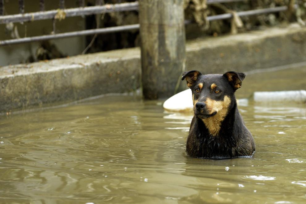 Un câine poate fi văzut în zonele inundate din Obranovac, Serbia, 26 mai 2014. VIER PFOTEN a fost solicitată oficial de guvernul de la Belgrad să intervină, imediat după dezastrul provocat de inundaţii. Misiunea se desfăşoară în strânsă colaborare cu ministerul sârb al Agriculturii şi Facultatea de medicină veterinară din Belgrad.