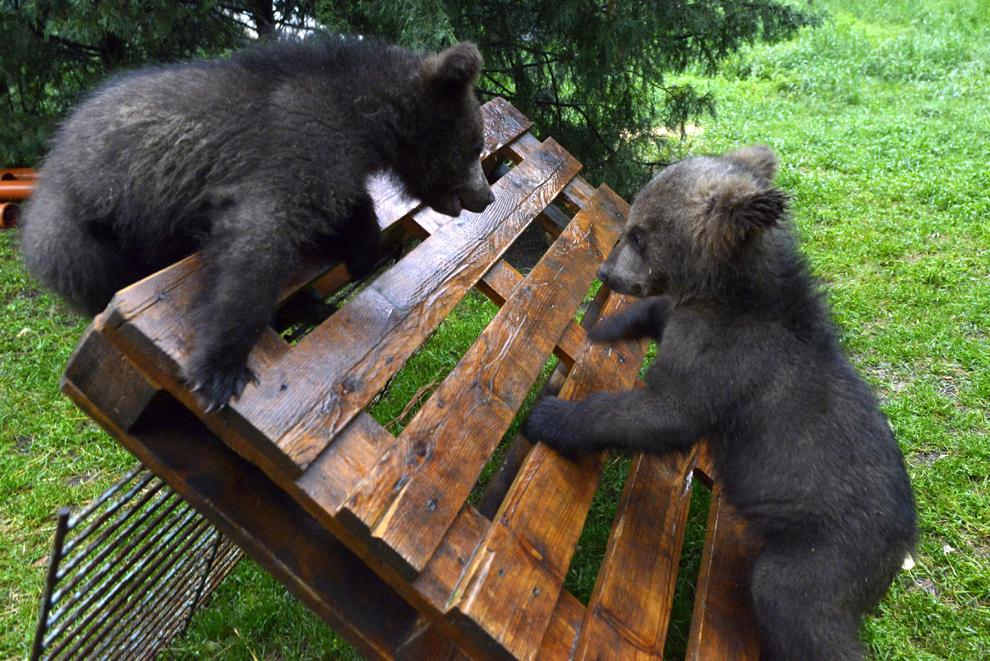 Doi pui de urs se joacă, în Plavic Zoo, Serbia, 15 mai 2014. Tara, History şi Sleepy - trei pui de urs, în vârstă de aproximativ cinci luni - au fost descoperiţi de poliţiştii din satul Culije, din sudul Serbiei, aproape de graniţa cu Muntenegru. Autorităţile sârbe au solicitat ajutorul organizatiei VIER PFOTEN şi, pentru că în Serbia nu există un sanctuar pentru puii de urs, VIER PFOTEN a decis să-i aducă la centrul din Harghita, România.