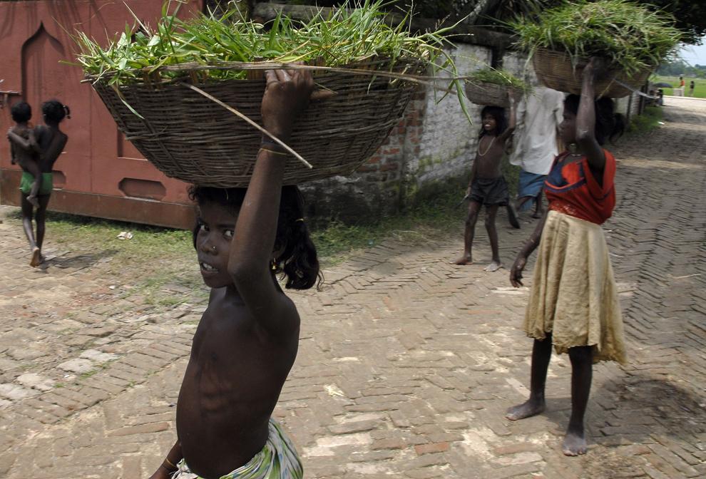 Copii din Jagatpur (aprox. 1300 km de New Delhi), statul Bihar, cară hrană pentru animale, miercuri, 29 august 2007. Statul Bihar, aflat în nordul Indiei, la graniţa cu Nepal, a fost cel mai grav afectat de inundaţiile survenite anul acesta în urma anotimpului musonic. Peste 40.000 de locuinţe din 7000 de localităţi au fost distruse în întregime, 171 de persoane şi-au pierdut viaţa şi aprox. 400.000 au rămas fără adăpost.