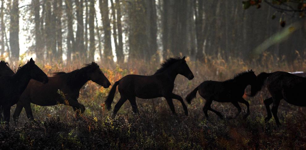 Cai sălbatici pot fi văzuţi în Padurea Letea, Delta Dunării, sâmbătă, 24 octombrie 2009.