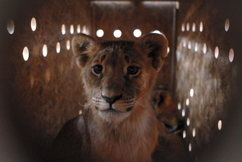 Un pui de leu stă în cuşca în care urmează sa fie transportat de la Grădina Zoologica din Brăila, miercuri, 4 iunie 2008. Fundaţia pentru protecţia animalelor Vier Pfoten transferă nouă pui de leu din Brăila, un mascul adult din Braşov şi un pui de tigru din Hunedoara în Africa de Sud, la Lionsrock, rezervaţia care aparţine fundaţiei.
