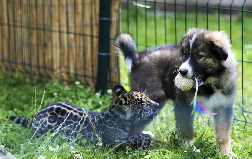 Un pui de jaguar, botezat Mai, se joacă împreună cu o căţeluţă, la Grădina Zoologică din Sibiu, vineri, 18 iulie 2014. Puiul de jaguar s-a născut în captivitate acum două luni şi are drept partener de joacă o căţeluşă adoptată de îngrijitorii de la Zoo.