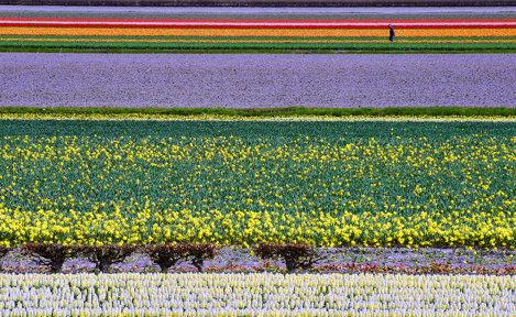 Câmpuri Olandeze de flori