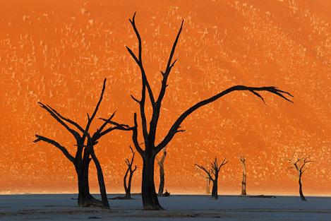 Copacii Thorn Camel, Namibia