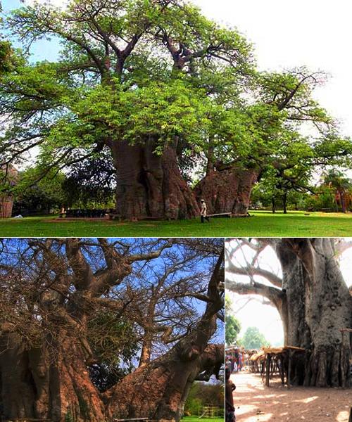 baobab.jpg?width=500&height=600