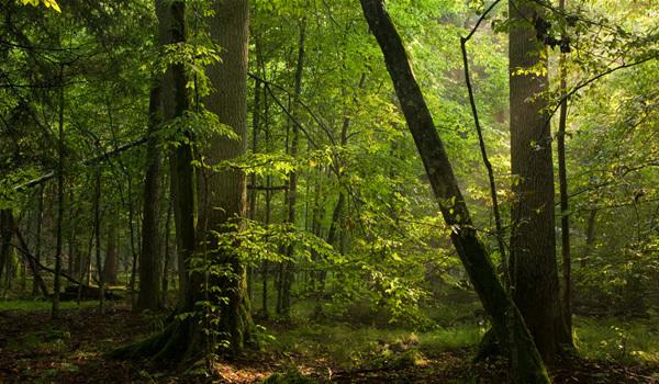 Pădurea Bialowieza - Acasă în regatul zimbrilor