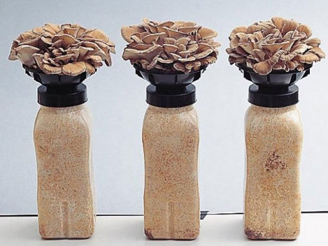 Ciupercile shiitake şi maitake, beneficii şi proprietăţi