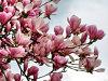 Vis magnolie. Ce înseamnă când visezi magnolie