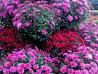 Vis crizanteme. Ce înseamnă când visezi crizanteme