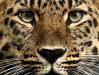 Vis leopard. Ce înseamnă când visezi leopard