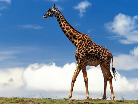 De ce girafa are gâtul lung?