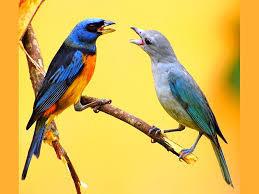 De ce cântă păsările?