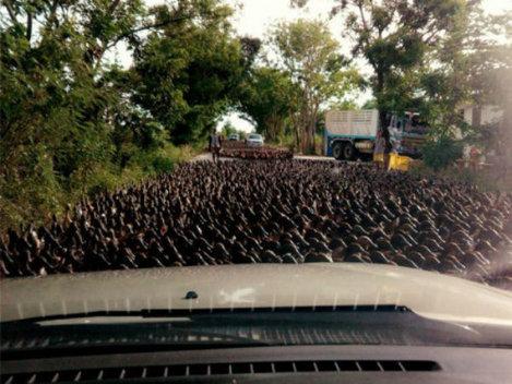 Raţele au blocat traficul pe o şosea din Thailanda! (Video)