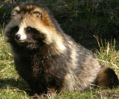 racoon dog