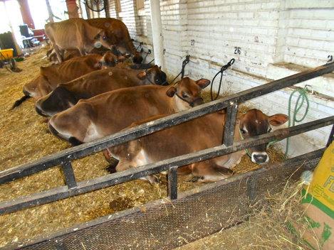 """Femă de vaci avariată de... flatulenţele """"locatarelor"""""""