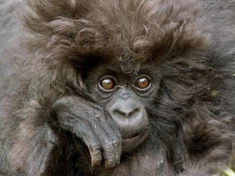 Din lumea animalelor: gorila groovy (Poze)