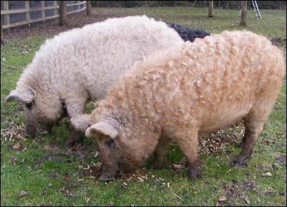porcul cu blana