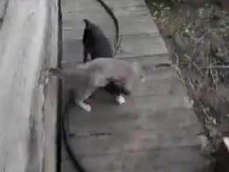 Cum poate căra un câine o pisică leneşă? (Video)