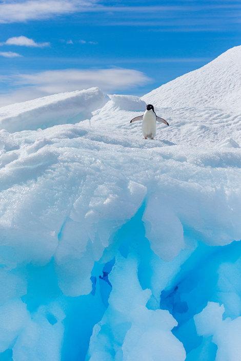 Pinguin zbenguindu-se în Antarctica