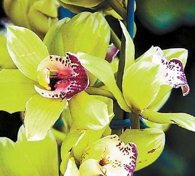 Orhideele Shenzhen Nongke