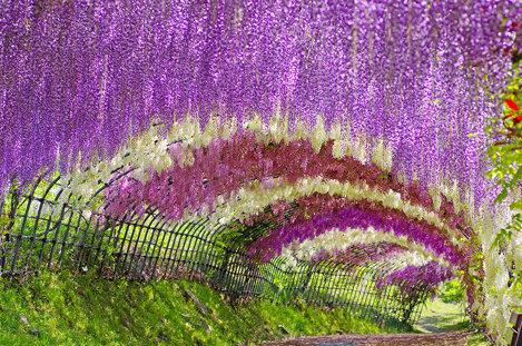 Tunelul Wisteria din Grădinile Kawachi Fuji,