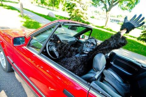În Massachusetts nu ai voie să-ţi plimbi gorila pe bancheta din spate a maşinii