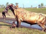 SOCANT: Un taur este atacat de pitbulli! (Poze)