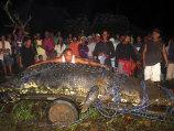 100 de oameni s-au zbatut sa captureze cel mai mare crocodil (Video)