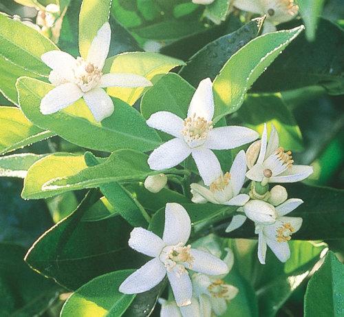 flori si frunze de portocal