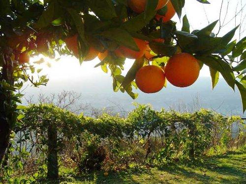 copacul portocal
