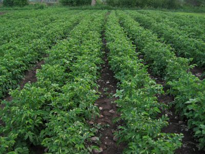 cultura de cartofi