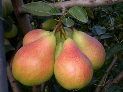 Perele, fructele ideale pentru supraponderali si diabetici