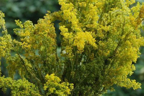 sanziana planta